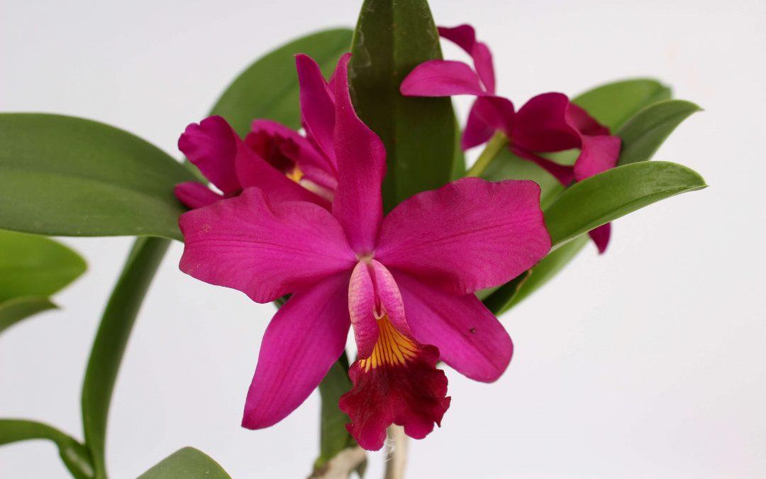 Cattleya groot en klein bloemig