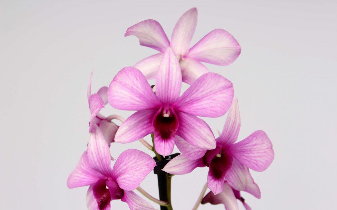 Dendrobium Sanook
